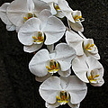 White Bliss Orchids by Jan Canavan