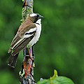 White-browed Sparrow-weaver by Tony Beck