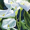 White Calla Lilies by Sharon Freeman