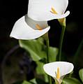 White Calla Lilies by Tobias Titz