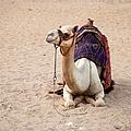 White Camel by Jane Rix