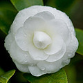 White Camellia by Rich Franco