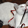 White Cat And Red Christmas Ribbon by Diane Lent