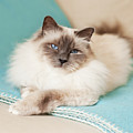 White Cat On Blue Blanket by MariaR