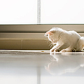 White Cat Playing On The Floor by Jose Torralba