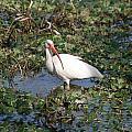 White Crane by Ian Mcadie