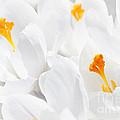 White Crocus Blossoms by Elena Elisseeva