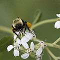 White Crownbeard Wildflowers Pollinated By A Bumble Bee With His Bags Packed by Kathy Clark