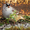 White Crowned Sparrow by Bill Pevlor