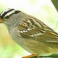 White Crowned Sparrow by Debbie Portwood