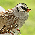White Crowned Sparrow II by Debbie Portwood