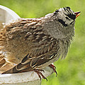 White Crowned Sparrow Sends A Warning by Debbie Portwood