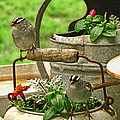 White Crowned Sparrows On The Flower Pot  by Debbie Portwood