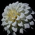 White Dahlia by Athena Mckinzie