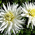 White Dahlias In Autumn  by Will Borden
