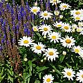 White Daisies by Aimee L Maher ALM GALLERY