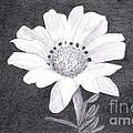 White Daisy Flower by Teri  Naomi