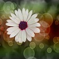 White Daisy In A Sunset by Marianna Mills