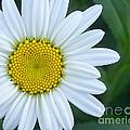 White Daisy by Jack Schultz