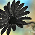 White Daisy Silhouette by Kaye Menner