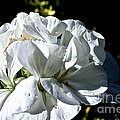 White Dew by Susan Herber