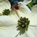 White Dogwood Flowers Art Prints Floral by Baslee Troutman