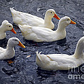 White Ducks by Elena Elisseeva