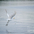 White Egret Flying by Diego Re