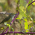 White-eyed Vireo - 1508 by Jerry Owens