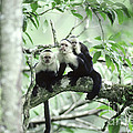 White-faced Capuchins by Gregory G Dimijian MD