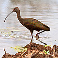 White-faced Ibis by Louise Heusinkveld