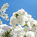 White Floral Blossoms Art Prints Spring Tree Blue Sky by Baslee Troutman