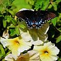 White Flower Butterfly by Tiffani Vanhunnik