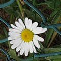 White Flower On The Fence by Sonali Gangane