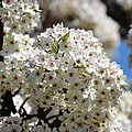 White Flowering Tree Floral by P S