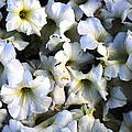 White Flowers At Dusk by Sumit Mehndiratta