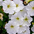 White Flowers by David Freuthal