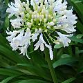 White Flowers by Eva Kaufman