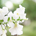White Flowers In Summer by Peter Chadwick LRPS