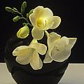 White Freesias In Black Vase by Susan Rovira