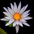 White Frost Flower by Steve McKinzie