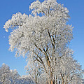 White Frost Tree by Ralf Kaiser