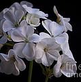 White Geranium by Faith Harron Boudreau