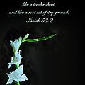 White Gladiola Isaiah 58 2 by Randall Branham