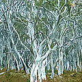 White Gum Forest by Phill Petrovic