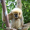 White Handed Gibbon by Mary Deal