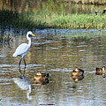 White Heron And Baby Ducks by Diana Haronis