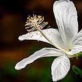 White Hibiscus II by Debbie Karnes