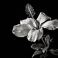 White Hibiscus Inn Black And White by Endre Balogh