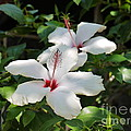 White Hibiscus by John Chatterley